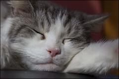 So peaceful! #mainecoon #largecat #catlovers #cat #cats #flickr #sleep   #love  #sleepyhead #sleepingcats #lovecats #cutecats #cute #longhaired #longhairedcat #canon #unsplash #easter #stalbans #herts #follow #stalbansphotographer #aww #goodfriday #pet #p (lettyhphotography) Tags: sleepingcats sleep precious sleepyhead largecat petphotography cutecats cats pets kitty aww catlovers innocent cute easter follow stalbans pet mainecoon longhaired herts lovecats flickr longhairedcat canon stalbansphotographer goodfriday love unsplash cat