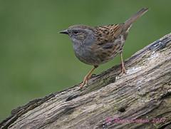 Dunnock 11 (Roger Dickens) Tags: gardenbird dunnock accentor prunellamodularis westmidlands pentaxk3 pentax300mm