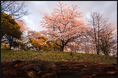 Brush of sunshine (Jean-David & Anne-Laure) Tags: 28mm blossom cherry color flowers highpark leica leicaq rain sprint sunset toronto tree warm wideangle