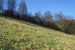20170409_bieley_0037.jpg (elmayimbe) Tags: schwalmbachtal monschau deutschland landschaft europa narzisse eifel pflanzen kalterherberg blumen perlenbachtal