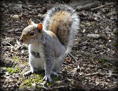 321/365 Grey Squirrel (lindyloo86) Tags: squirrel wildlife taylorpark sthelens