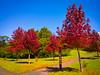 Árvore com folhas vermelhas no Parque Tanguá (Eduardo PA) Tags: curitiba paraná nokia pureview microsoft windows phone 950xl lumia wp árvore com folhas vermelhas no parque tanguá