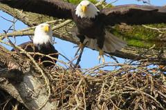 Riverbend Eagles (shesnuckinfuts) Tags: americanbaldeagle baldeagle haliaeetusleucocephalus riverbendeagles kentwa shesnuckinfuts march2017 nature eagle bird wildlife nest matedpair