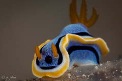 annas chromodoris, siladen jetty, siladen, indonesia, 2017 (q.phia) Tags: water climatechange anemonebleaching coralbleaching ocean critters nudibranch pipefish tunicate hawksbill seaturtle turtle fish indonesia siladen diving scuba greenturtle crab underwaterphotography macrophotography wideangle juvenile crinoid porcelaincrab cuttlefish shrimp seafan anemone