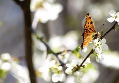 Scenes from Spring (Alexander Day) Tags: cherry blossoms flowers flowering tree flower butterfly orange spring duke farms new jersey