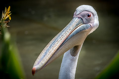 Making Friends (helenehoffman) Tags: africa asian rosypelican conservationstatusleastconcern aves bird pelecanusonocrotalus whitepelican easternwhitepelican greatwhitepelican southeasteurope swamp animal