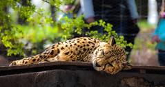 Sleeping kitty (nicoheinrich86) Tags: sleep animal zoo gepard