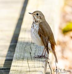 Hermit Thrush (BirdFancier01) Tags: nature bird songbird spring migration thrush hermit