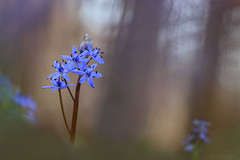 Scilla (ildikólaskay) Tags: macro flower springflower blume fleur flor fiore virág hungary csillagvirág scilla blaustern squill