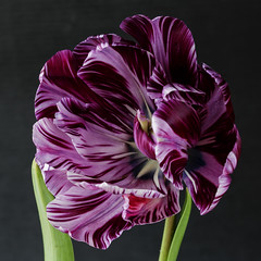 swirls of pink v.1 (Wendy:) Tags: tulip macro pink lowkey