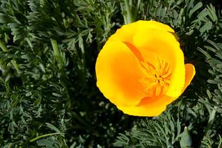 Eschscholzia californica var. maritima