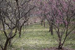 IMG_2552crs (kenta_sawada6469) Tags: flower flowers spring nature macro colors japan ume japaneseapricot japanese landscape