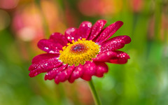 friandise (christophe.laigle) Tags: bokeh xf60mm pluie flower marguerite droplets christophelaigle raindrop drops macro anthemis fuji gouttes margueritedescanaries rouge xpro2 fleur red
