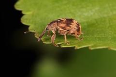 Anthonomus rectirostris (chug14) Tags: animalia charançon arthropoda hexapoda insecta coleoptera curculionidae curculioninae anthonomini anthonomusrectirostris