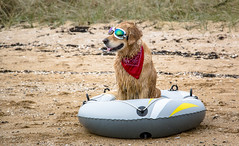 (Chris B70D) Tags: golden retriever owners scotland monthly walk elie beach holiday park fife scottish beaches sand sea west coast cold sprint coastal town dog pet ziggy bandanna reflections water scenery goggles boat portrait focus canon 70d raw landscape
