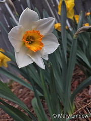 April 13, 2017 - Beautiful spring flowers in Thornton. (Mary Lindow)