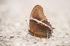 Siproeta epaphus (fabriciodo) Tags: siproetaepaphus butterfly papillon mariposa lepidoptera farfalle macro nature tamron90