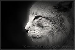 LYNX DE SIBERIE (corinneguegan) Tags: ngc handganimalsonly lynxdesiberie lynx felinsbigcats