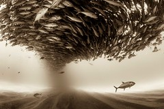 Silent Kingdom (castrowalterm) Tags: animals bajacalifornia cabopulmo méxico photography seaofcortez swimming wild amazing diving fish marinepark nature ocean protectedarea school scuba sea snorkel travel turism underwater