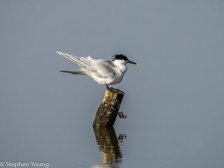 Sandwich tern at Rye Harbour nature reserve