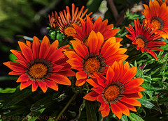 Shiny Happy People (sbox) Tags: flowers spring orange daisies gardens plants summer declanod sbox rem shinyhappypeople