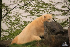 Erlebniszoo Hannver 15.04.2017 022 (Fruehlingsstern) Tags: eisbären polarbear sprinter melana elefanten seelöwen weiskopfseeadler yukonbay erlebniszoohannover hannover canoneos750 tamron16300 zoo