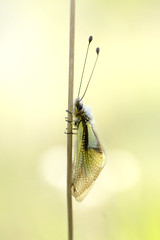 Aggripé (donlope1) Tags: insect nature dragonfly wildlife animal summer closeup antenna little macro proxi proxy ascalaphe bokeh macrodreams
