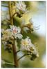Fleur de marronnier (Jean-Marie Lison) Tags: eos80d parcastrid marronnier fleur macro anderlecht