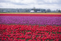 """Earth laughs in flowers"" (Jan.Timmons — away) Tags: tulips tulipsgrowing tulipfields mountvernon washingtonstate jantimmons pacificnorthwest cloudy overcast skagitvalley landscape"