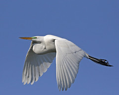 amazing (Dianne M.) Tags: greategret landing nature white flight rookery wings ngc