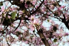 Delicada suavidad (ameliapardo) Tags: flores floresyplantas árboles naturaleza andalucía sevilla españa airelibre