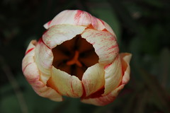 Red Flecked White Tulip!! (Dave Paterson) Tags: tulip red white multicoloured pretty beautiful colourful garden flower