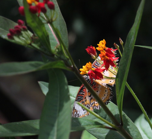 Malay lacewing 2