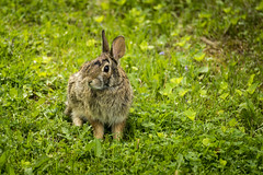 DSC06064 (photix1) Tags: 5615avmcalearmontréal immo animaux lapin