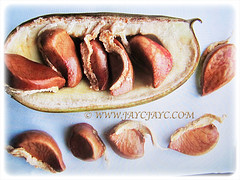 Lovely brown seeds of Strongylodon macrobotrys (jayjayc) Tags: flickr17 jaycjayc strongylodonmacrobotrys jadevine emeraldvinecreeper turquoisejadevine kualalumpur malaysia seedpods brown vine