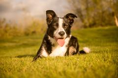 DSCF3861 (donnyhughes) Tags: dog dogs border collie cumbernauld glasgow scotland fuji xt1