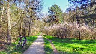 Spring Blossom, Driebergsebos, Netherlands - 4213