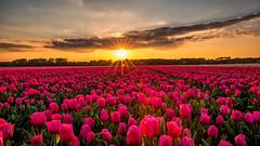 L I V I N G  IN  C O L O R S (Ewout Pahud de Mortanges) Tags: sunset tulips outdoor colors holland netherlands flickr landschap field landscape planet world spring canon sunstar flowers travel explore camera