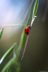 cox-002 (bonacherajf) Tags: corse corsica coccinelle insecte macro