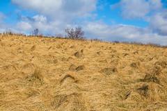 Homage to Van Gogh (thorrisig) Tags: iceland ísland island icelandicnature thorrisig thorfinnursigurgeirsson thorri þorrisig thorfinnur þorfinnur þorri þorfinnursigurgeirsson dorres sigurgeirsson sigurgeirssonþorfinnur vangogh tree spring gras grass tré landscape landslag