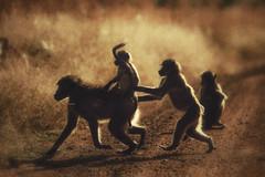 Baboons playing in the evening sun (johannekekroesbergen) Tags: backlit safari sunset nature animal wildlife sunlight baboon evening play playing