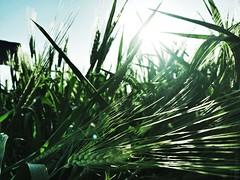 Attraverso le spighe (Dadolicchio) Tags: spighe grano sole sun parco verde green