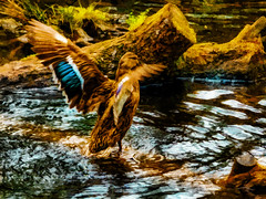 Outstretched Wings (Steve Taylor (Photography)) Tags: bird duck mallard art digital brown blue black yellow white green water stream wood newzealand nz southisland canterbury christchurch texture wings ripple log tree
