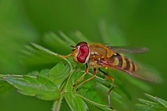 Syrphus vitripennis (AglaiaBouma) Tags: hoverfly fly syrphidae zweefvlieg vlieg syrphus vitripennis blind eye insect entomology nature