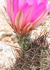 CAD0011736a (jerryoldenettel) Tags: 170427 2017 cactaceae caryophyllales coreeudicots echinocereus echinocereusfendleri fendlerhedgehog nm socorroco strawberrycactus wildflower cactus eastofladronepeak flower hedgehog