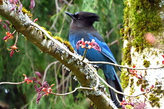 Jay in the maple tree (westietess) Tags: moresbypond birds april