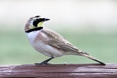 Horned Lark (Patricia Henschen) Tags: chatfieldstatepark chatfield littleton colorado bird songbird hornedlark horned lark