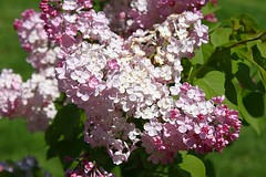 Central Experimental Farm Lilacs 024 (Chrisser) Tags: flowers ontario canada nature garden spring gardening ottawa fourseasons closeups lilacs syringa oleaceae centralexperimentalfarm canonefs1855mmf3556islens canoneosrebelt1i