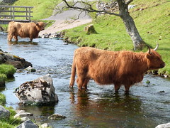 B (Mrtainn) Tags: scotland kuh cow highlands alba escocia ku ko mucca highlandcattle alban szkocja krava koei vache esccia vaca koe schottland kou westerross schotland ecosse highlandcow lehm duirinish scozia baca lehm skottland rossshire buwch skotlanti skotland krowa inek behi booa broskos  b govs b baqra esccia  skcia karv tehn kr albain krva gussa  iskoya   vac gidhealtachd buoch taobhsiarrois siorramachdrois scoia  melkeku vatga kgv ca vca vaia diirinis