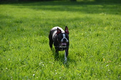 Dogs @IMA, 09-30-2012 164 (Hazel the Boston Terrier) Tags: boston terrier hazel indianapolismuseumofart